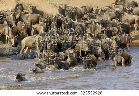 Herd of Wildebeests crossing  Mara river