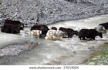 Herd of yaks passes through the mountain river  In the Altai Mountains and the Himalayan mountain live bulls, Yaks - stock photo