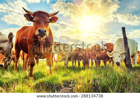 Herd of young calves looking at camera at summer sunset  - stock photo