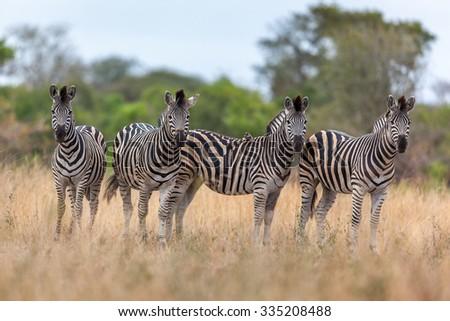 Herd of zebra in an open grassland - stock photo