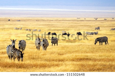 herd of zebra's on a golden grassfield in Africa  - stock photo