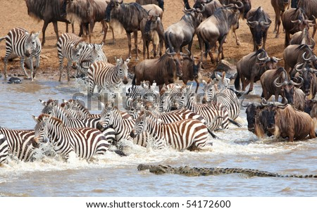 Herd of zebras (African Equids) and Blue Wildebeest (Connochaetes taurinus) crossing the river infested with crocodiles (Crocodylus niloticus) in nature reserve in South Africa - stock photo