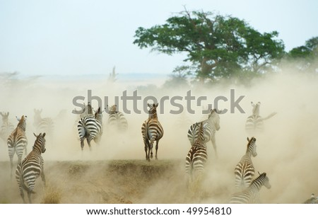 Herd of zebras (African Equids) running in the dust in nature reserve in South Africa