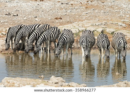 Herd of zebras (equus quagga) drinking at a waterhole in Etosha National Park, Namibia