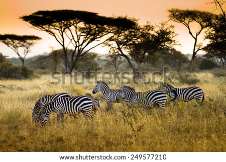 Herd of zebras on the african savannah - stock photo