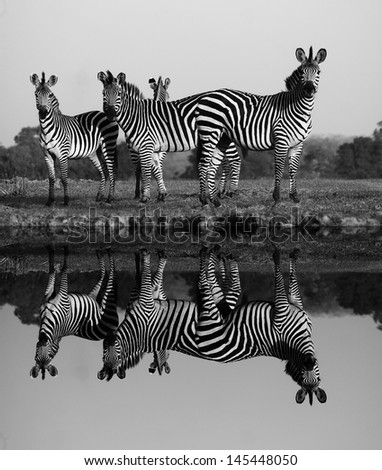 Herd of Zebras with a Reflection on the water