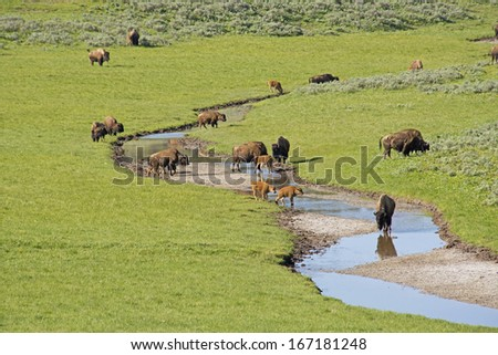 Herds of Bison in Yellowstone National Park. - stock photo