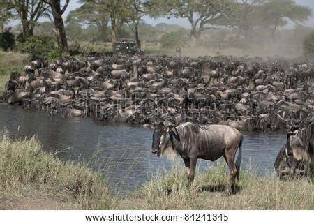 Herds of wildebeest at the Serengeti National Park, Tanzania, Africa - stock photo