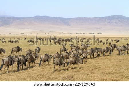 Herds of wildebeests walks in Ngorongoro - stock photo
