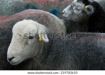 Herdwick sheep - stock photo