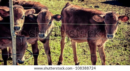 Here are four small calves in a camp behind a fence. - stock photo