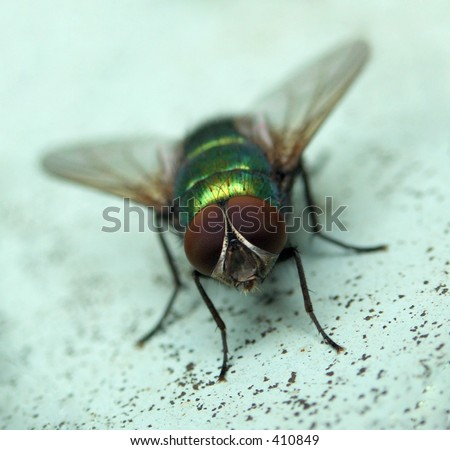 Here is a fly with big eyes.
