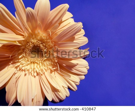 Here is a yellow flower on blue background. Is a sun-flower.