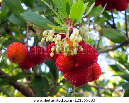Here is the red fruit and small white bell shaped flowers of the Kousa dogwood tree.  Pretty nature shot. - stock photo