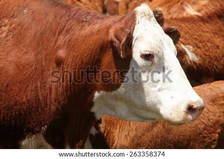 hereford and Black Angus Cattle being rounded up - stock photo