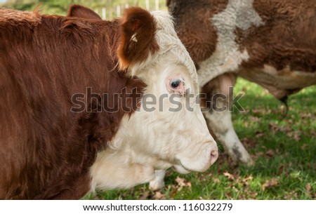 Hereford beef cattle close-up.
