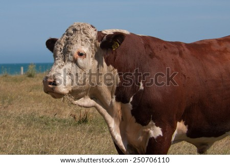 Hereford Bull  - stock photo