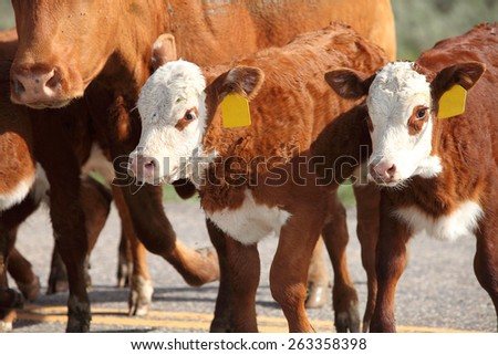 hereford cattle being rounded up