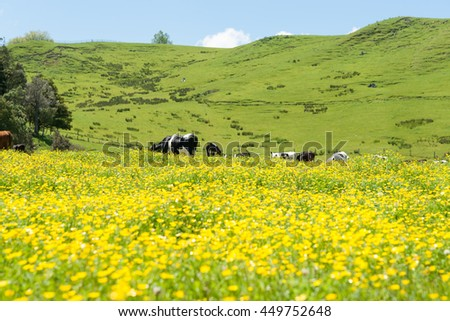 Hereford cattle grazing a field of bright yellow buttercup in front of green hills low point of view