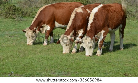 Hereford cattle standing on a green pasture. - stock photo