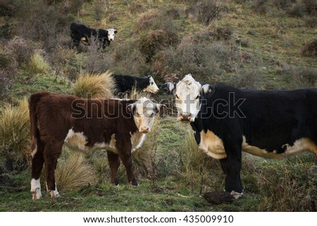 Hereford Cows and calf in Pasture