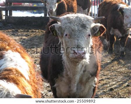 Hereford livestock - stock photo