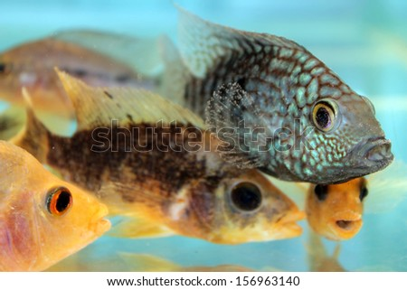 Texas cichlid stock photos images pictures shutterstock for Freshwater fish in texas