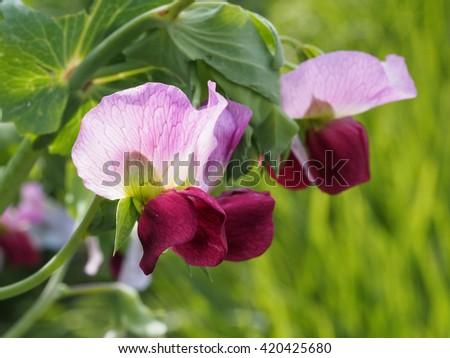 Heritage pea. Purple podded pea plant in flower. Unusual garden vegetable. - stock photo
