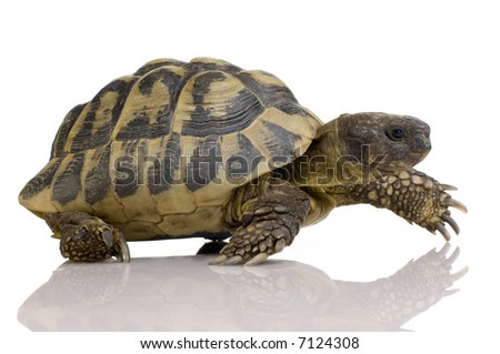 Herman's Tortoise in front of a white backgroung - stock photo