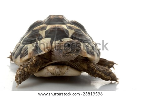 Herman?s Tortoise (Testudo hermanni) isolated on white background.