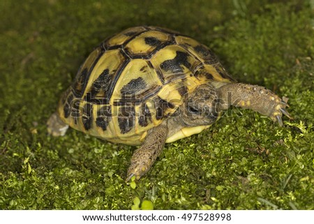 Herman's turtle, Testudo hermanni on the green moss