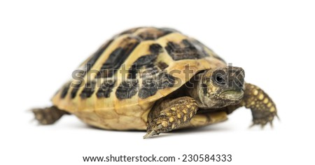 Hermann's tortoise, isolated on white