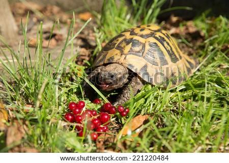 Hermann's tortoise (Testudo hermanni) eats fruits - stock photo