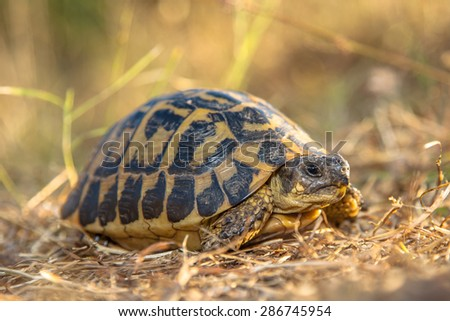 Hermann's tortoise (Testudo hermanni) is one of five tortoise species traditionally placed in the genus Testudo - stock photo