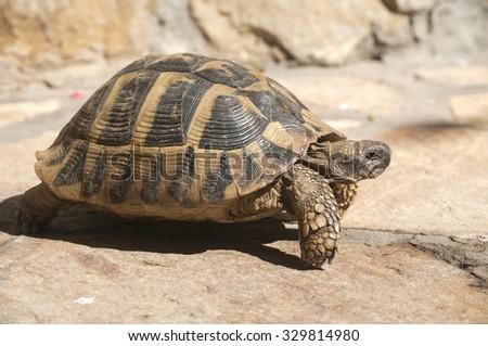 Hermann's tortoise walking on stone surface closeup - stock photo