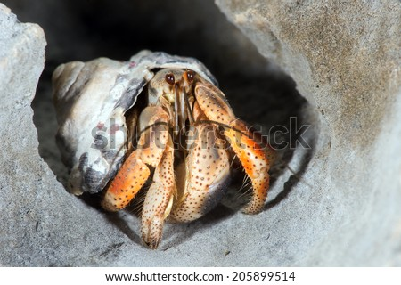 Hermit Crab close up on rocky shoreline/Hermit Crab/Hermit Crab (coenobite clypeatus) - stock photo