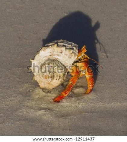Hermit crab (Coenobita sp.) protect close-up picture - stock photo