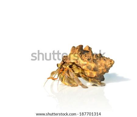 Hermit Crab crawling on white background - stock photo