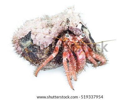 Hermit crab, Dardanus arrosor, Kemer, Antalya Region, Mediterranean Sea, Turkey, isolated on white background.