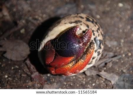 Hermit crab in shell.  British Virgin Islands. - stock photo