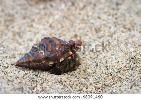 Hermit crab in snail shell on white sand beach in Costa Rica.