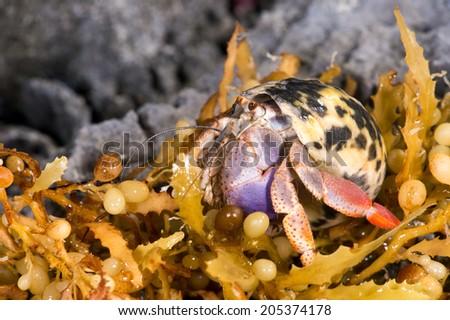 Hermit Crab moving across rocky shoreline/Hermit Crab/Hermit Crab (coenobite clypeatus) - stock photo