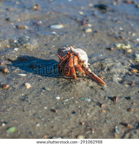 Hermit crab on the sand of mangrove forest - stock photo