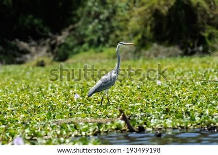 Heron (Ardea goliath) in National Reserved, Kenya, Africa - stock photo