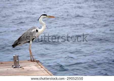 heron at the end of a dock contemplates the ocean in the maldives