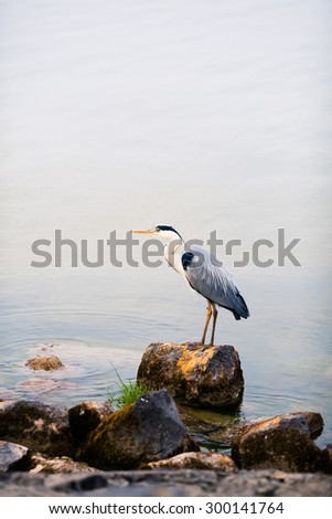 heron bird on a stone against water background - stock photo