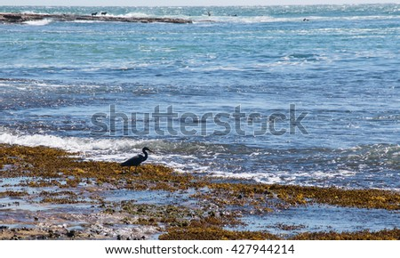 Heron,dogs and surfers in Kalbarri, Western Australia at Jake's Point/Animals and Surfing/KALBARRI,WA,AUSTRALIA-APRIL 20,2016:Jake's Point with surfers, heron and dogs in Kalbarri, Western Australia