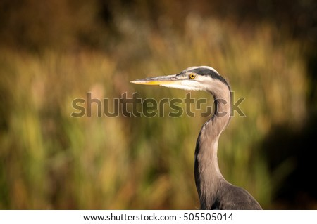 Heron Head In A Wetland
