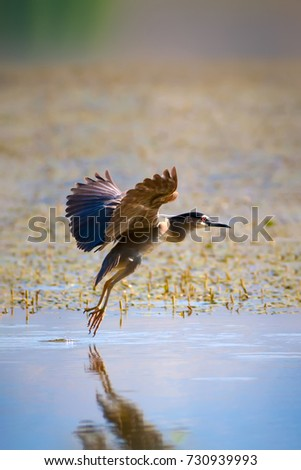 Heron landing. Black-crowned Night Heron / Nycticorax nycticorax