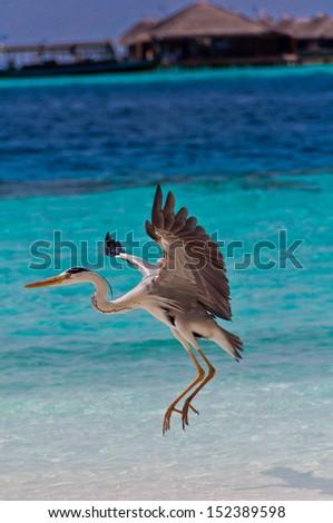 Heron Landing on beach - stock photo